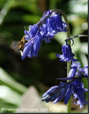 Narrow bordered bee hawkmoth