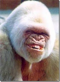 Gorila Japones