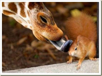 giraffe squirrel