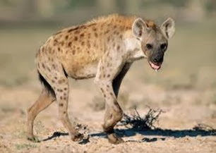 Amazing Pictures of Animals, Photo, Nature, Incredibel, Funny, Zoo, Hyena, Mammals, Alex (3)