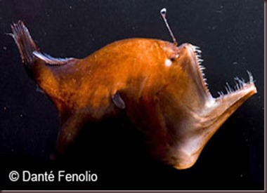 Amazing Animals Pictures Angler Fish (3)