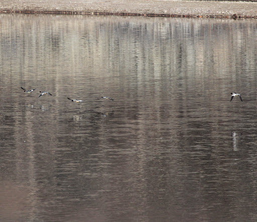 Five of approximately 300 Common Mergansers on Wanaque Reservoir being scared up by 2 Bald Eagles