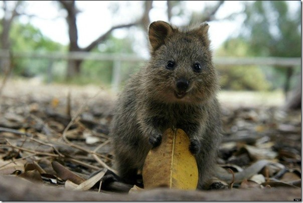 Quokka O animal mais feliz do mundo (7)