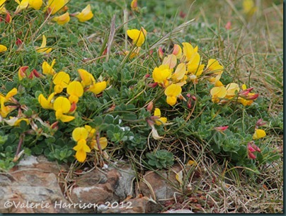 17-birds-foot-trefoil