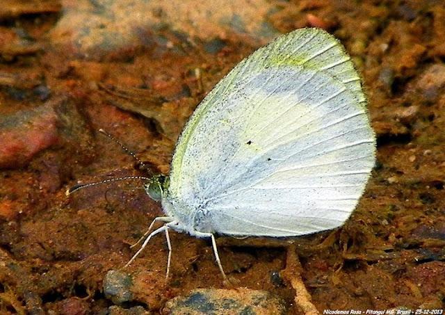 Eurema elathea flavescens (CHAVANNES, 1850). Pitangui (MG, Brésil), 25 décembre 2013. Photo : Nicodemos Rosa