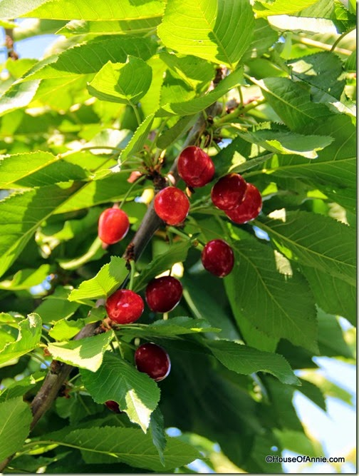 Cherries waiting to be picked