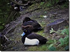 Tufted duck Center Parcs May 2914