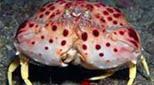 Méditerranée anfractuosité rocheuse crabe honteux