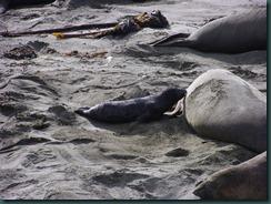 Elephant Seals 2012 007