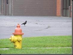 crow by hydrant
