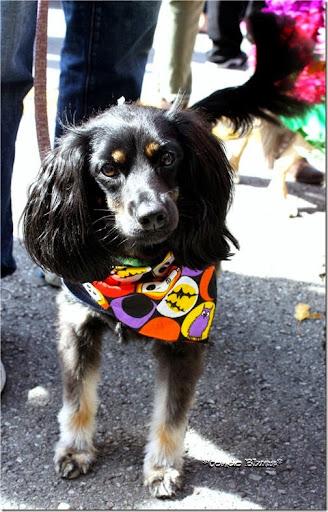 Tuesday October 13 2015 & Condo Blues: Homemade Fairy Wing Dog Halloween Costume