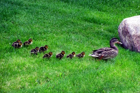 Ducklings Spring 2014