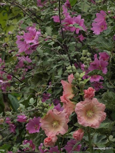 Lavatéra - Alcéa ( Rose tremière)