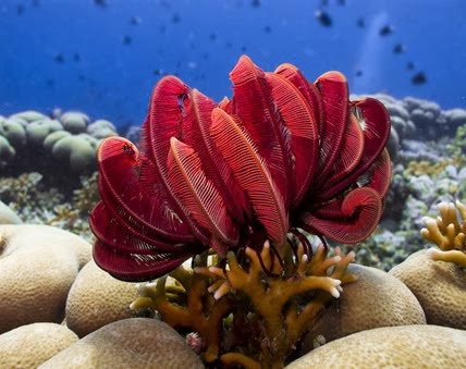 Amazing Pictures of Animals, Photo, Nature, Incredibel, Funny, Zoo, Crinoid, Lamprometra palmata, Alex (6)
