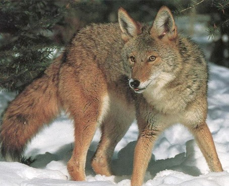 Amazing Pictures of Animals, Photo, Nature, Incredibel, Funny, Zoo, Coyote, Canis latrans, Alex (2)