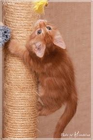 Фото история котят мейн кун в возрасте 7,5 недель 8
