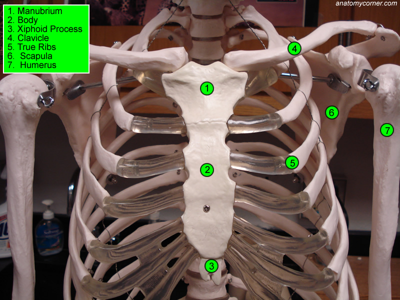 Stock Illustration Feline Anatomy Domestic Cat Illustration Animal Organ Systems Image61142400 in addition Muscle Identification Eye Anatomy Muscles Anatomy 8be5ba additionally Nutrient artery additionally Digestion also Ct Neck Axial Anatomy Cefaef. on cow circulatory system