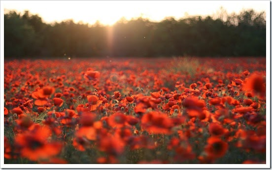 poppies-flowers-red-field-meadow-nature