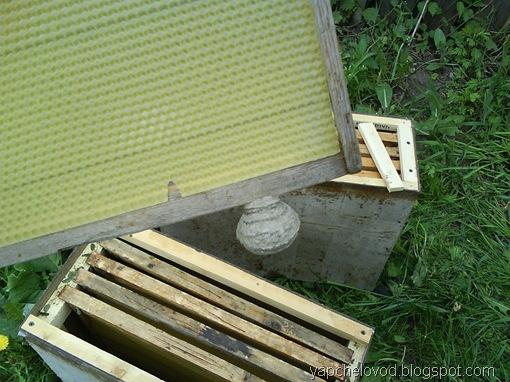 Осиное гнездо в ловушке для пчел