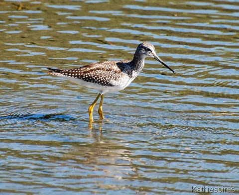 18. yellowlegs-kab