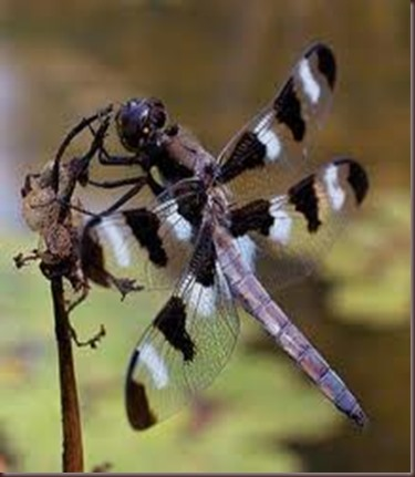 Amazing Pictures of Animals, photo Nature, exotic, funny ,incredibel Zoo, Dragonfly, Insecta, Alex (17)