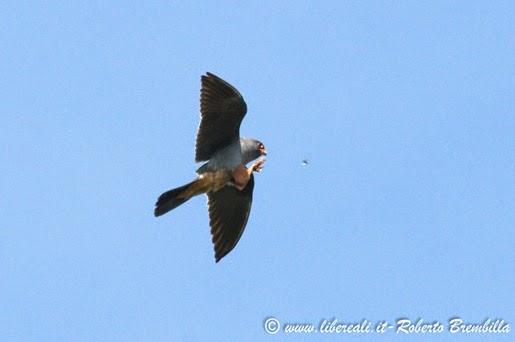 40-2014-05-20_Falco cuculo_Delta Po (2)