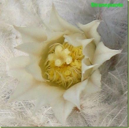 fiore mammillaria plumosa
