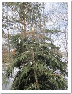 20130303_broken-spruce_006