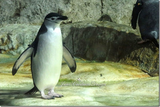 Chinstrap_Penguin