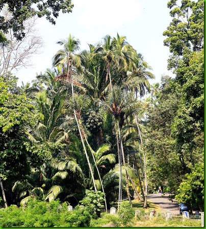 Sabal longipedunculata