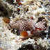 Hypselodoris whitei - Photo (c) 104623964081378888743, some rights reserved (CC BY-NC-SA)