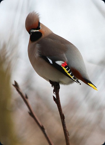 Amazing Beauty of Waxwing Birds12