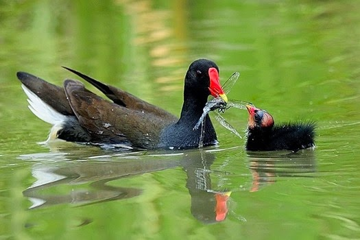 Amazing Pictures of Animals, Photo, Nature, Incredibel, Funny, Zoo, Common Moorhen, Gallinula chloropus, Aves, Alex (10)
