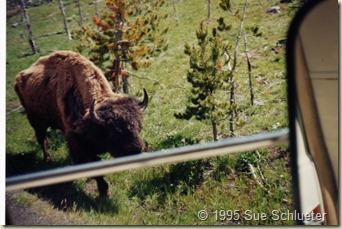 yellowstone buffalo from rv window