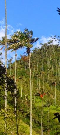 palmeras de cera, valle de Cocora