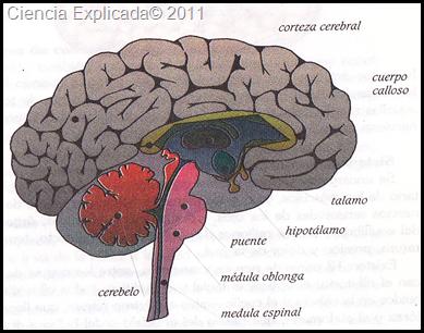 partes del sistema nervioso central