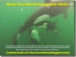 Mamãe Orca Sobrevive Graças Ajuda Filhotes_thumb[1]