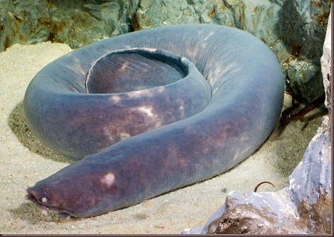 Amazing Animal Pictures Hagfish (7)