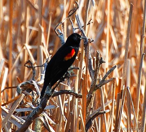 11. blackbird-kab