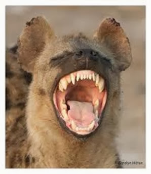 Amazing Pictures of Animals, Photo, Nature, Incredibel, Funny, Zoo, Hyena, Mammals, Alex (8)
