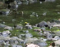 Black-throated Green Warbler bathing in the brook