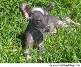 Amazing Pictures of Animals, Photo, Nature, Incredibel, Funny, Zoo, Dog, Mexican Hairless Dog, Xoloitzcuintle, Mammals, Alex (17)