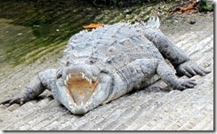 Crocodile at the boat ramp
