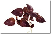 Tulsi (black/red/purple variety)