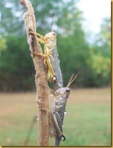 Grasshopper plague