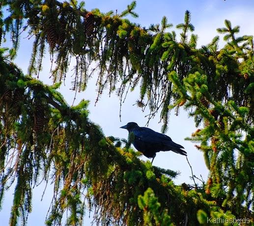 3. crow-kab