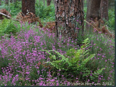 7-bell-heather