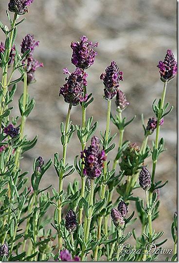 FPC_Lavender_Laveanna2