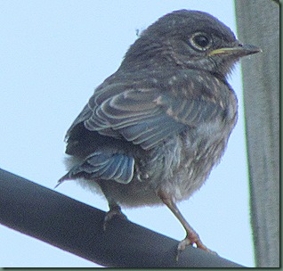 Newly fledged baby Bluebird