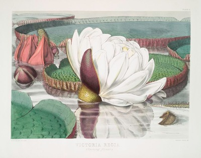 Victoria_Regia._(Opening_flower)_(1851)